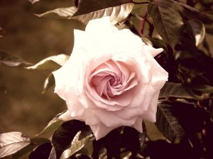 action over perfection - pink rose surrounded by leaves